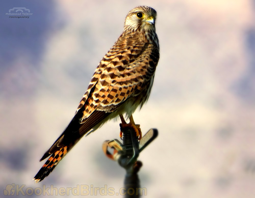 نام فارسی: دِلیجه نام محلی: واشاه نام علمی: Falco tinnunculus نام انگلیسی:Kestrel (Common Kestrel) (Eurasian Kestrel)