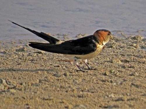 این پرنده در گذشته جزء Hirundo طبقه بندی می شد و با نام علمی Hirundu daurica شناخته می شد اما اخیراً با توجه با پژوهش های DNA  که بر روی این پرندگان صورت گرفته، این طبقه بندی تغییر کرده و پرستوی دمگاه صورتی جزء Cecropis قرار گرفته است. و هم اکنون با نام علمی Cecropis daurica معرفی می شود.