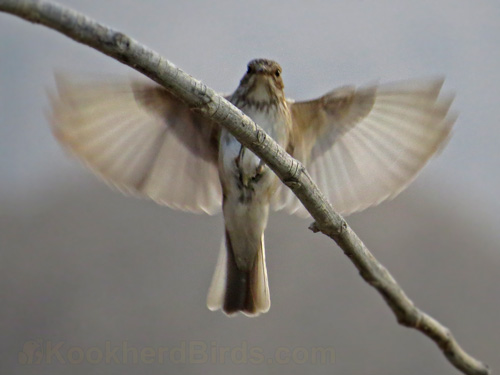 مگس گیر راه راه از راسته ی گنجشک سانان Passeriformes و تیره ی مگس گیریان Muscicapidae می باشد.