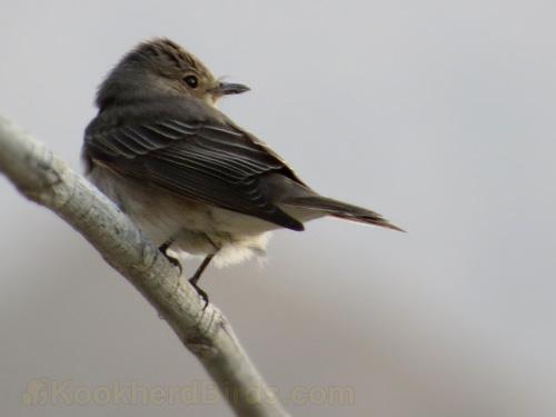 نام فارسی: مگس گیر راه راه (مگس گیر خال دار) نام محلی: ... نام محلی پیشنهادی: پشه گیر خط خطی نام علمی: Muscicapa striata نام انگلیسی: Spotted Flycatcher