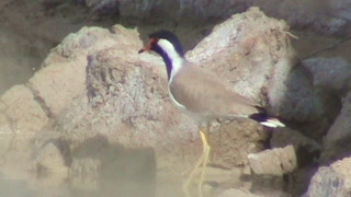 Vanellus indicus Hoplopterus indicus Red-Watteled Plover  Red Watteled Lapwing دیدومک ديدومك